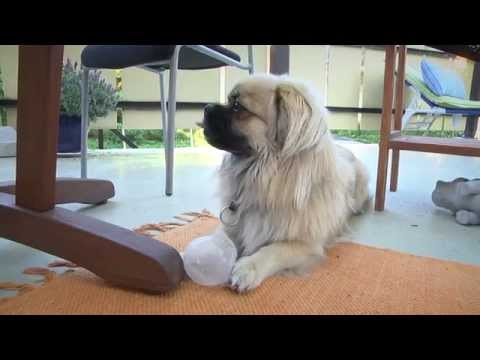 "Tibetan Spaniel ""Roope"" Fights With a Washing Ball!"