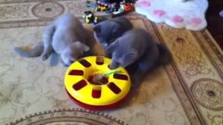 веселые игры британских котят(, 2015-03-25T11:05:28.000Z)