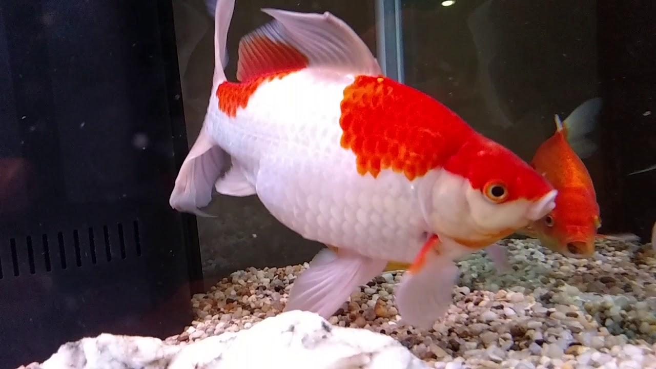 HUGE Sarasa Comet Goldfish in 210 gallon aquarium - YouTube
