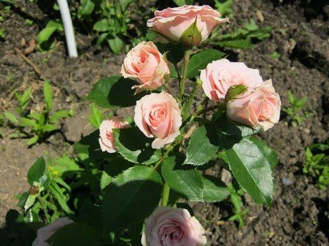 Посадка роз весной.Как посадить розу