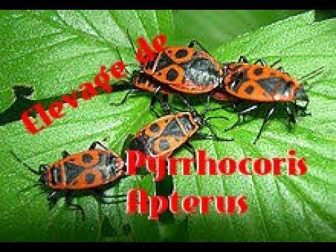Comment bien commencer un �levage de gendarmes ( Pyrrhocoris Apterus )