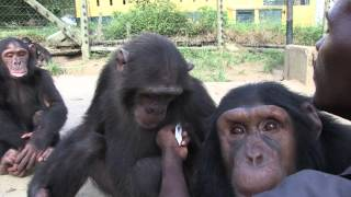 Keeping Sanctuary for Chimpanzees - A Day in the Life of Tcimpounga Narrated by Jane Goodall