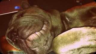 8 month shar pei sleeping/snoring and moving paw!