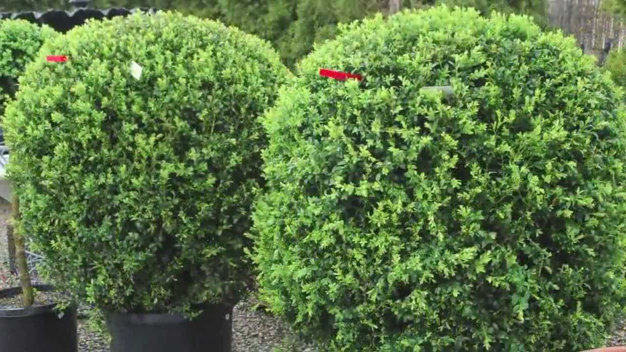 Fast growing privacy hedges on sale youtube - Shrubbery for privacy ...