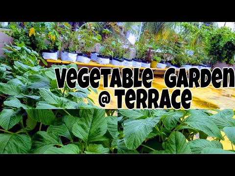 Vegetable cultivation in terrace for Terrace krishi