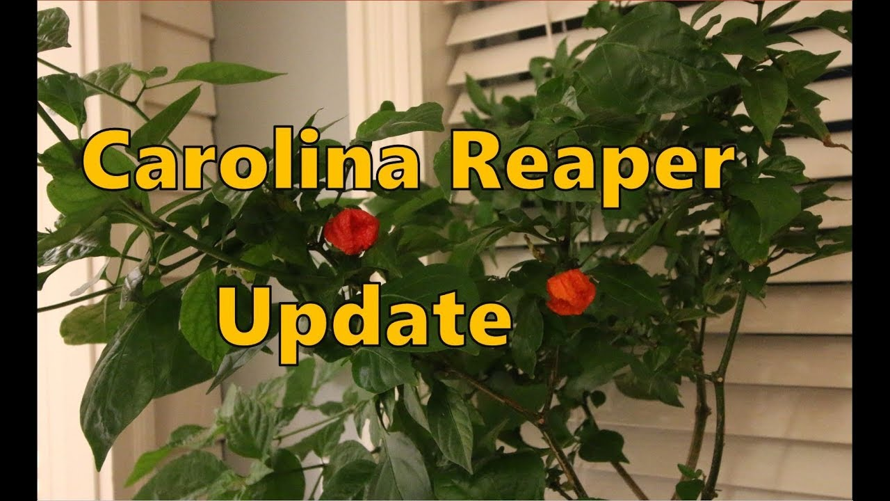 Growing the Carolina Reaper Update
