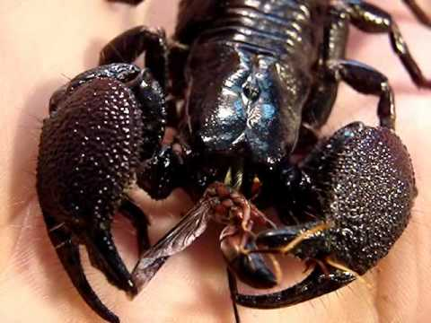 What do scorpions eat?