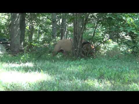Giant Pit Bull Hulk's $500,000 Puppy Litter
