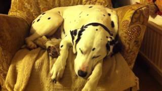Harvey The Dalmatian Barking In His Sleep
