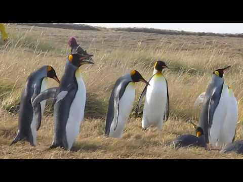 Pingüinos en Porvenir, Región de Magallanes y de la Antártica Chilena - Punta Arenas - Chile