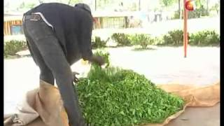 Hailstorms destroy tea bushes in Kericho