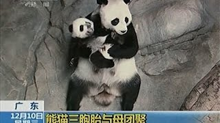 Raw: Giant Panda Triplets Reunited With Mom