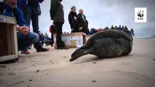 Foki wracają do Bałtyku
