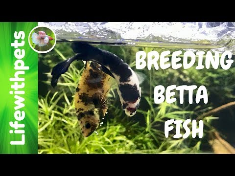 How to Breed Betta Fish with Big City Bettas