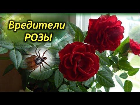 Вредители комнатной розы. Как эффективно бороться с вредителями.