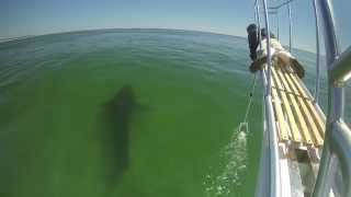Atlantic White Shark Research: Report from the Field #1