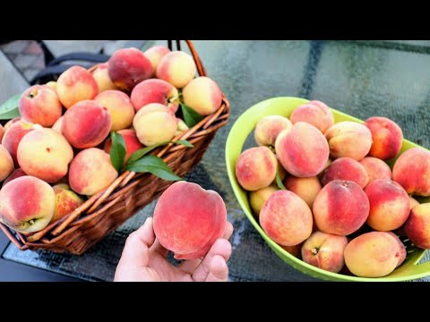 8 MUST Grow Fruit Trees in a BACKYARD ORCHARD