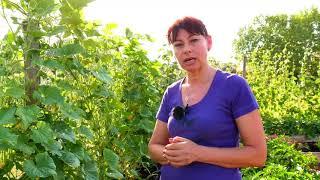 Cultivarea castraveților