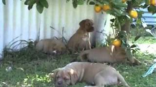 Dogue De Bordeaux X American Bulldog Puppies 7 Weeks Old