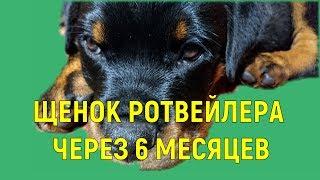 ЩЕНОК РОТВЕЙЛЕРА ЧЕРЕЗ 6 МЕСЯЦЕВ воспитание и дрессировка собак