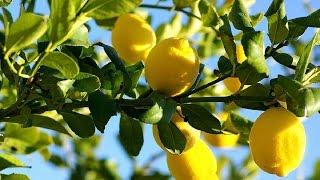 Дачники 9 11 2016 Лимоны, лаймы, мандарины, урожай на подоконнике(Лимоны, лаймы, мандарины могут с успехом расти и давать урожай на подоконнике. В очередном выпуске программ..., 2016-11-27T16:48:16.000Z)