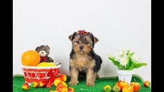 Щенок йорка на продажу / Замечательный малыш / купить йорка / купить щенка йоркширского терьера
