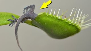 ЭТИ РАСТЕНИЯ ЕДЯТ ЖИВОТНЫХ! Удивительные хищные растения!