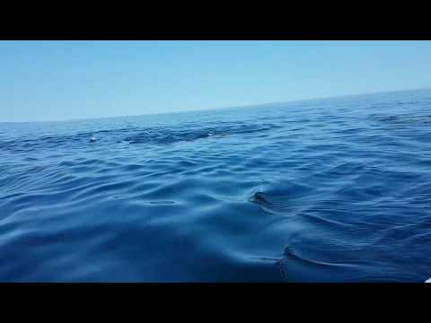 Dolphins! Gulf of St. Lawrence