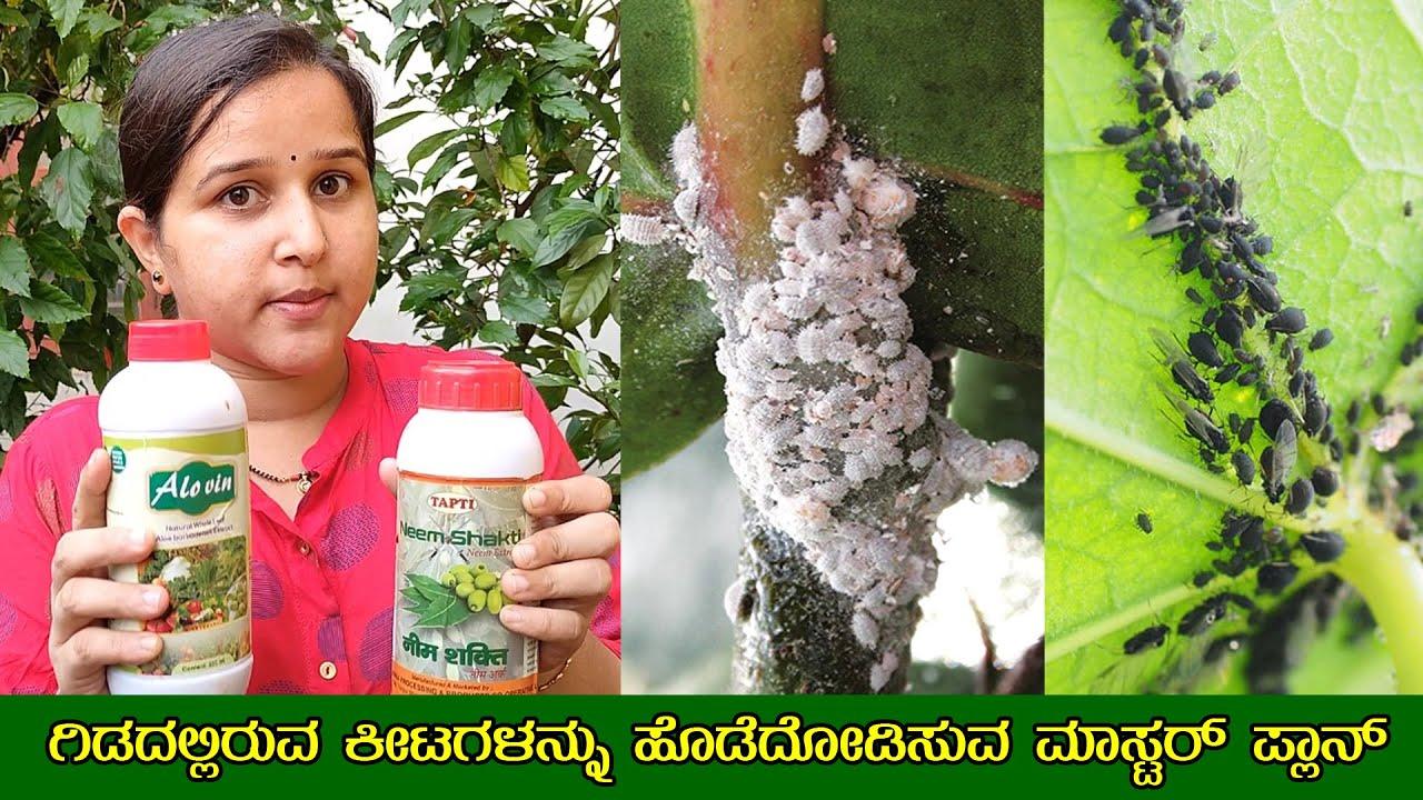 ಗಿಡದಲ್ಲಿರುವ ಕೀಟಗಳನ್ನು ಹೊಡೆದೋಡಿಸುವ ಸುಲಭ ಉಪಾಯ How to get rid of Plant Bugs - Mr and Mrs Kamath