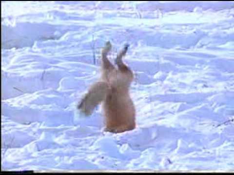Funny Fox Hunting In Snow