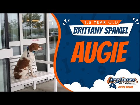 1.5 y/o Brittany Spaniel(Augie) Best Dog Trainer's in VA