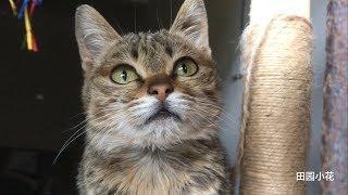 """中国狸花猫可以有多美这是一只喜欢""""哇哦~""""叫的狸花猫"""