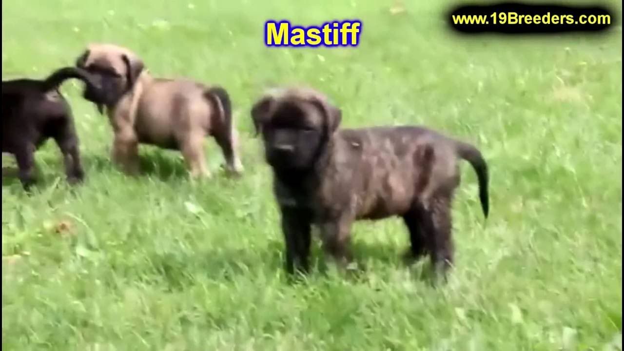 Mastiff Puppies Dogs For Sale In Louisville Kentucky Ky