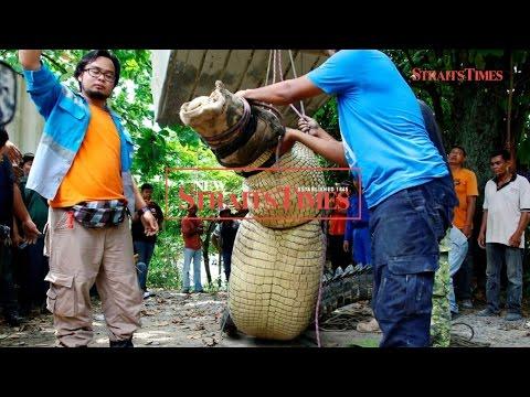 Massive 14-foot crocodile caught in Kuala Juru, Penang