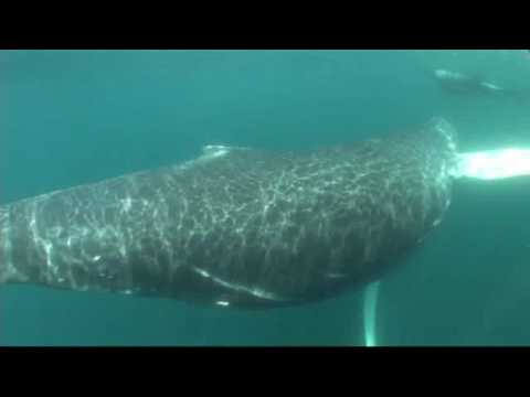 Marine Life  | Humpback Whale and Dolphins Swimming together in Newfoundland