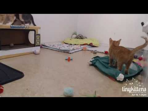 Tiny Kittens Playing with rambunctious aussie kittens part two 6-18-2017