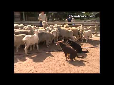 Sheep Herding, Australia by Asiatravel.com
