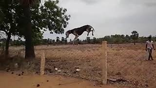 Amazing Jumps Of Kanni (Chippiparai) Dogs from South india