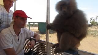 Наглый бабуин
