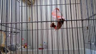 فوائد المكمل الغذائي FERTI-VIT و طريقة تقديمه لطيورنا