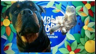 """РОТВЕЙЛЕРЫ В ПЕРЕДАЧЕ """"ЖИВЫЕ ИСТОРИИ""""воспитание и дрессировка собаки"""
