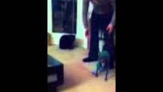 Chihuahua Walking On Her Front Two Feet In Boots