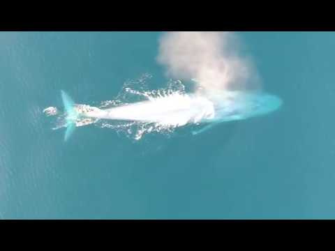 Rare images of blue whale feeding behavior