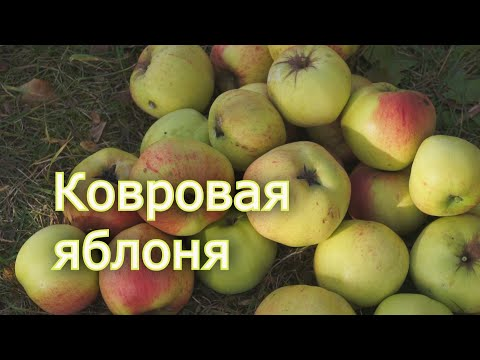 Зимний сорт яблони . Яблоня Ковровое | посадить | ковровое | яблоня | яблонь | яблоки | отзывы | зимняя | яблок | сорта | какие