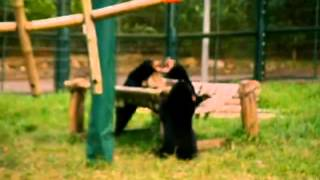 Sun Bear Sunday 2  (at Animals Asia's Vietnam Bear Sanctuary)