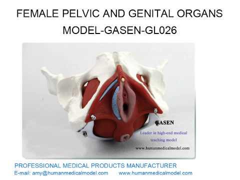 Женские половые органы Женские гормоны Половые инфекции