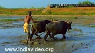Ploughing with buffalo, traditional, agricultural practice, rice farming, paddy cultivation, Cheppad
