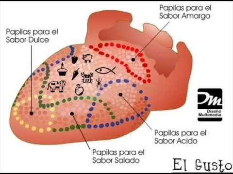 Los organos de los sentidos lache youtube for El divan de los sentidos