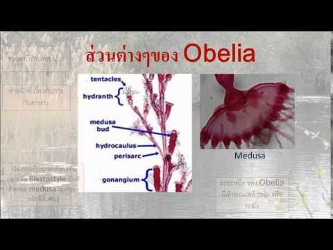 metagenesis in obelia pdf