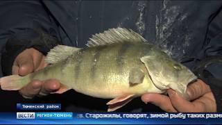 Полукилограммового окуня выловили любители зимней рыбалки в Тюменской области